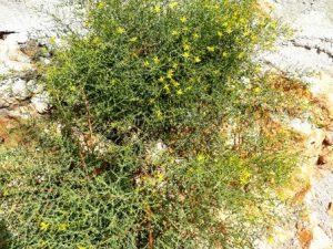 Sarı Kantoron Bitkisi